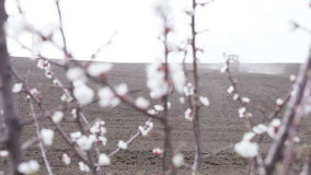 Cherry blossoms in front black field. Cherry blossom in front of black field is plowing tractor stock footage