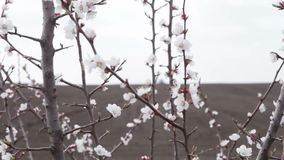 Cherry blossoms in front black field. Cherry blossom in front of black field is plowing tractor stock video footage