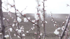 Cherry blossoms in front black field. SMELA, CHERKASSKAYA/UKRAINE - APRIL 10 2013: Cherry blossom in front of black field is plowing tractor on April 10 in Smela stock video footage