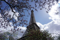Cherry blossoms in front of the Eiffel Tower Royalty Free Stock Photos