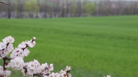 Cherry blossoms in front green field. Cherry blossoms in front of a field of winter wheat and the lake behind the trees and hill stock video