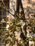 Cherry blossoms. In front of a house in springtime Stock Photography