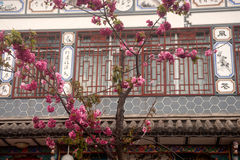 Cherry blossoms front the old town in Dali city,China. Royalty Free Stock Image