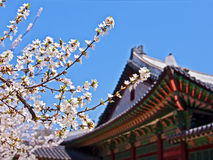 Cherry blossoms in front of royal palace royalty free stock photo