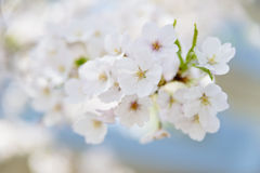 Cherry blossoms in full bloom Royalty Free Stock Photos