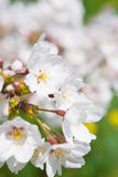 Cherry blossoms in full bloom Royalty Free Stock Images