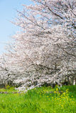 Cherry blossoms in full bloom. This is the cherry blossoms in full bloom Royalty Free Stock Images
