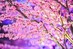 Cherry blossoms. In full bloom Royalty Free Stock Image