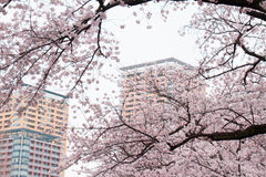 Cherry blossoms in full bloom and the apartment Royalty Free Stock Images