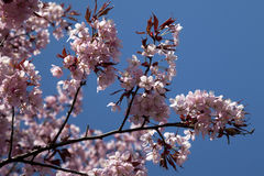 Cherry blossoms in full bloom Stock Images