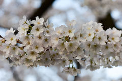 Cherry blossoms in full bloom Royalty Free Stock Image