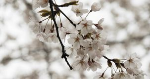 Cherry Blossoms in Full Bloom. Shot in 4K RAW on a cinema camera stock footage