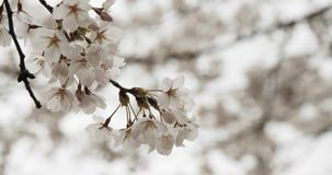 Cherry Blossoms in Full Bloom. Shot in 4K RAW on a cinema camera stock video