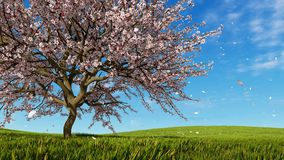 Cherry blossoms in full bloom 3D animation. Sakura cherry blossoms in full bloom on spring field covered with fresh green grass and flower petals falling from royalty free illustration
