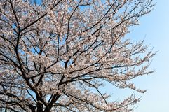 Cherry blossoms in full bloom on a fine spring day stock images