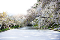 Cherry Blossoms in full bloom. At the moat around the Imperial Palace in Tokyo, Japan Stock Images