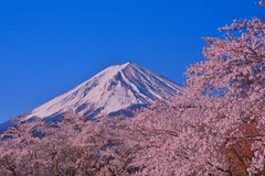 Cherry blossoms in full bloom and Mt.Fuji from Yagisaki Park in Lake Kawaguchi royalty free stock photography