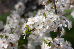 Cherry blossoms in full bloom, in park Royalty Free Stock Photo
