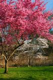 Cherry Blossoms in Full Bloom. A pink and white cherry blossom bloom in a New Jersey park stock photo
