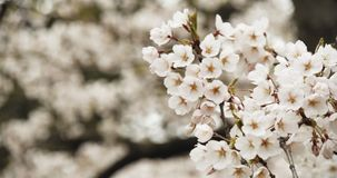 Cherry Blossoms in Full Bloom. Shot in 4K RAW on a cinema camera stock video footage