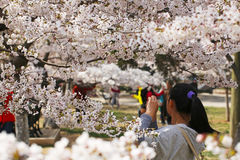 Cherry blossoms in full bloom in the spring in Qingdao, China Royalty Free Stock Photography