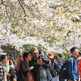 Cherry blossoms in full bloom in the spring in Qingdao, China Royalty Free Stock Images