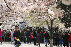 Cherry blossoms in full bloom in the spring in Qingdao, China Stock Images