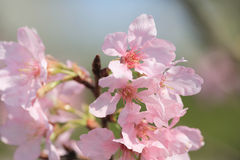 Cherry blossoms in full bloom Stock Photography