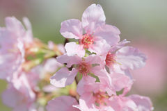 Cherry blossoms in full bloom Stock Image