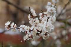 When cherry blossoms are in full bloom. And when the cherry blossoms in full bloom, the white holy cherry blossom covered with branches, it looked like a tree Royalty Free Stock Image