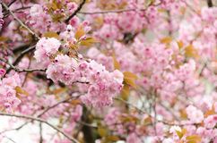 Cherry blossoms. Fully bloom along the way Stock Photography