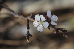 Cherry blossoms. In the garden Stock Image