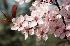Cherry blossoms in the garden. Cherry twig with white flowers royalty free stock photos