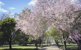 Cherry blossoms, Gardens of the city of Aranjuez, located in Spa Stock Images