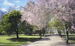 Cherry blossoms, Gardens of the city of Aranjuez, located in Spa Royalty Free Stock Photography