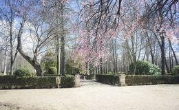 Cherry blossoms, Gardens of the city of Aranjuez, located in Spa Royalty Free Stock Photos