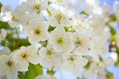 Cherry blossoms with green leaves Stock Images