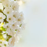 Cherry blossoms with green leaves Royalty Free Stock Photos