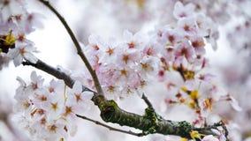 Cherry Blossoms That Hang On rosâtre blanc à l'arbre avant le vent les a balayés loin à la merveille de ressort de la saison Image libre de droits