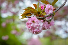 Cherry blossoms hanging from a cherry tree in a park Stock Photos