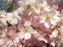 Cherry Blossoms Have Arrived royalty free stock image