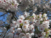 Cherry Blossoms herald the arrival of spring. Royalty Free Stock Photo
