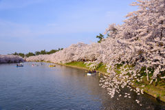 Cherry blossoms at Hirosaki Park Stock Photos