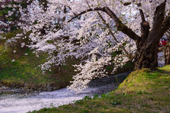 Cherry blossoms at Hirosaki Park Royalty Free Stock Image
