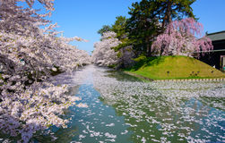 Cherry blossoms at Hirosaki Park Stock Photography