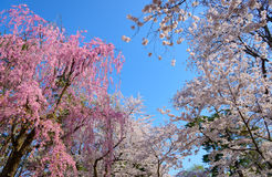 Cherry blossoms at Hirosaki Park Stock Photo