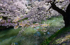 Cherry blossoms at Hirosaki Park Stock Image