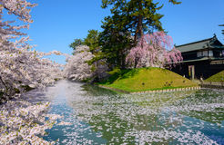 Cherry blossoms at Hirosaki Park Royalty Free Stock Photo