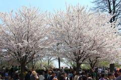 Cherry Blossoms, Hoog Park Toronto Stock Foto's