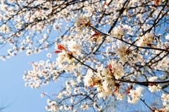Cherry Blossoms i den Hirano Jinja relikskrin, Kyoto Arkivbilder